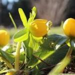 blomster-gule